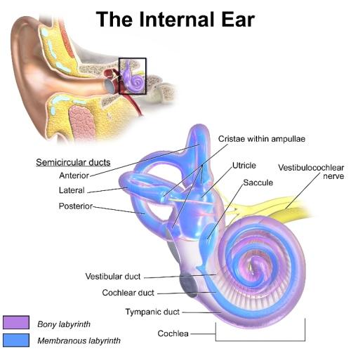 Diagram of internal ear